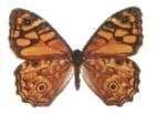 butterfly-3
